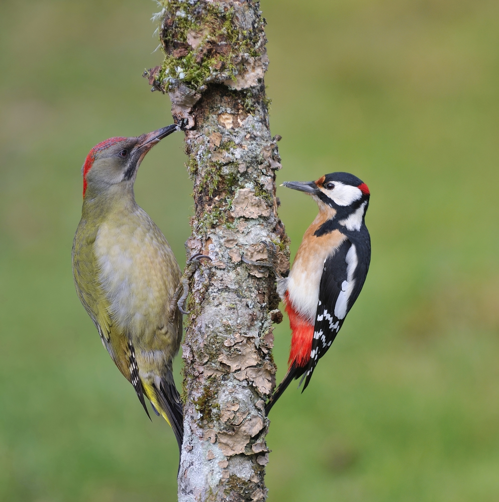 European green woodpecker and  great spotted woodpecker